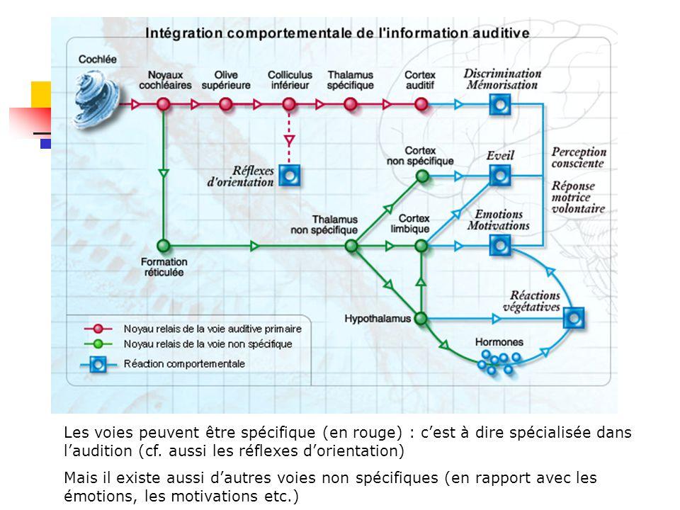 Les voies peuvent être spécifique (en rouge) : c'est à dire spécialisée dans l'audition (cf. aussi les réflexes d'orientation)