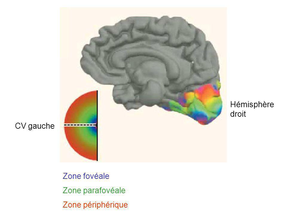 Hémisphère droit CV gauche Zone fovéale Zone parafovéale Zone périphérique