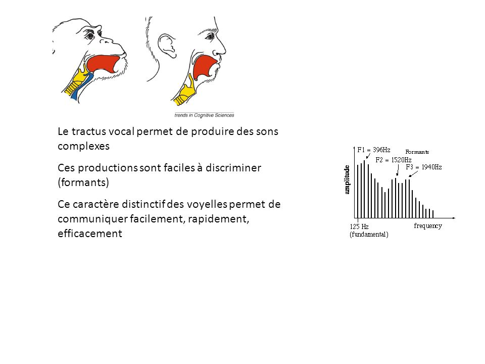 Le tractus vocal permet de produire des sons complexes