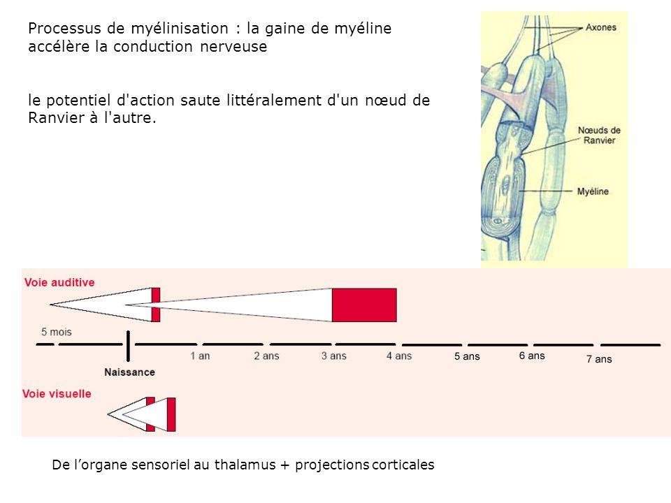 Processus de myélinisation : la gaine de myéline accélère la conduction nerveuse
