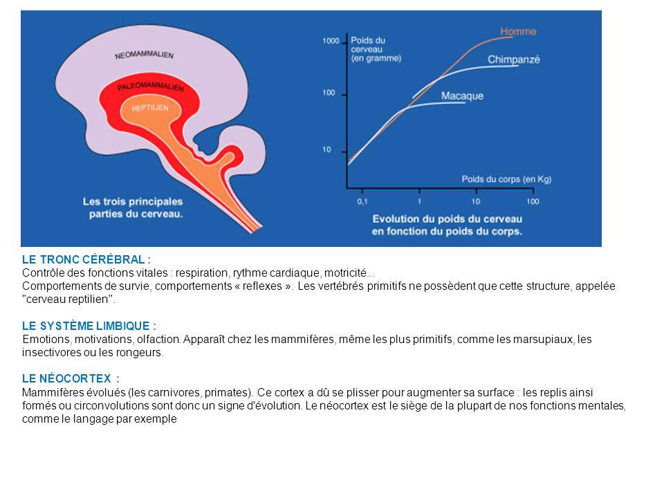 LE TRONC CÉRÉBRAL : Contrôle des fonctions vitales : respiration, rythme cardiaque, motricité...