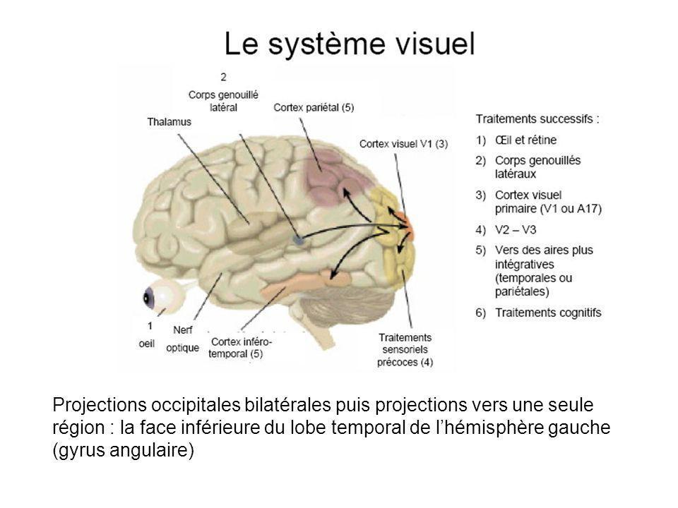 Projections occipitales bilatérales puis projections vers une seule région : la face inférieure du lobe temporal de l'hémisphère gauche (gyrus angulaire)
