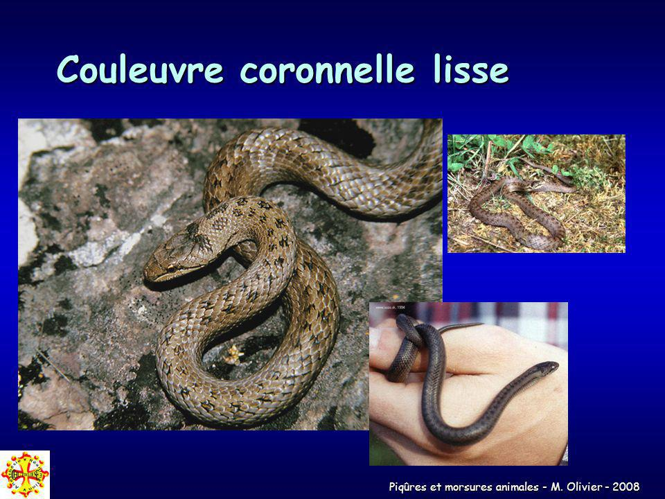 Couleuvre coronnelle lisse