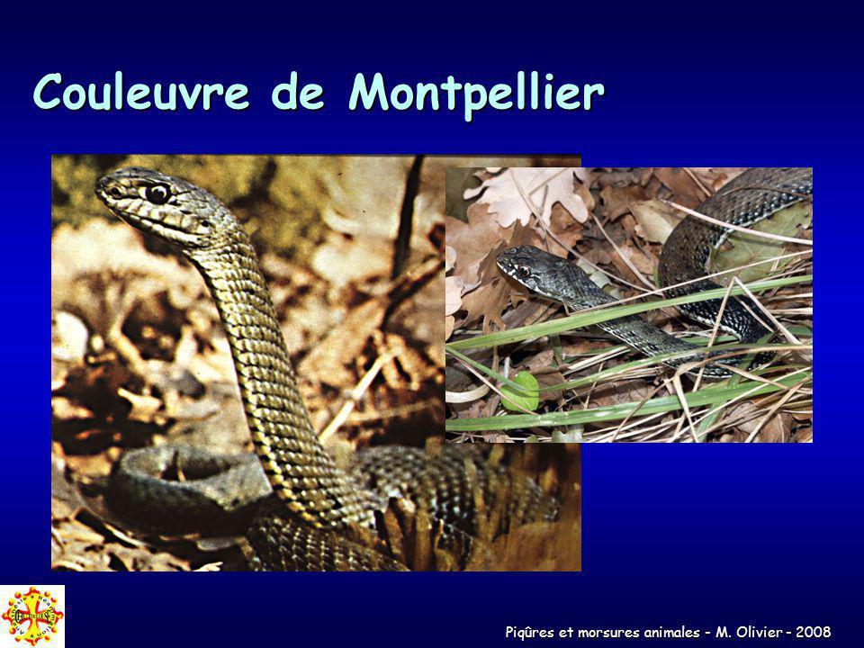 Couleuvre de Montpellier