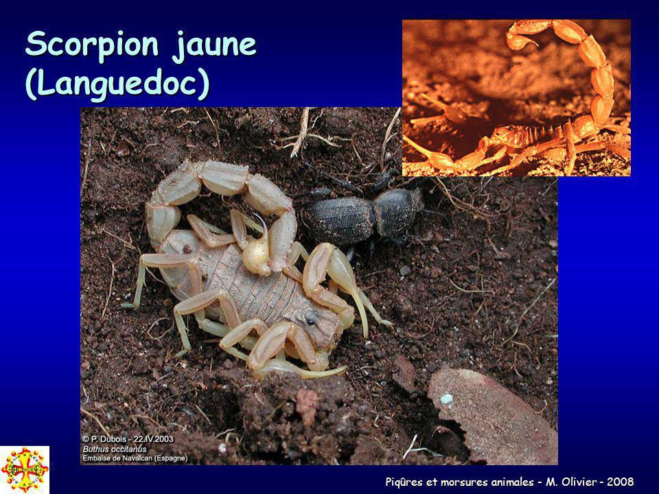 Scorpion jaune (Languedoc)