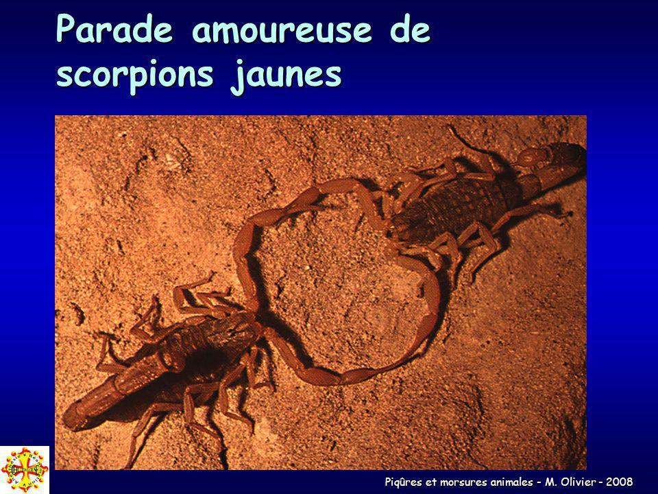 Parade amoureuse de scorpions jaunes