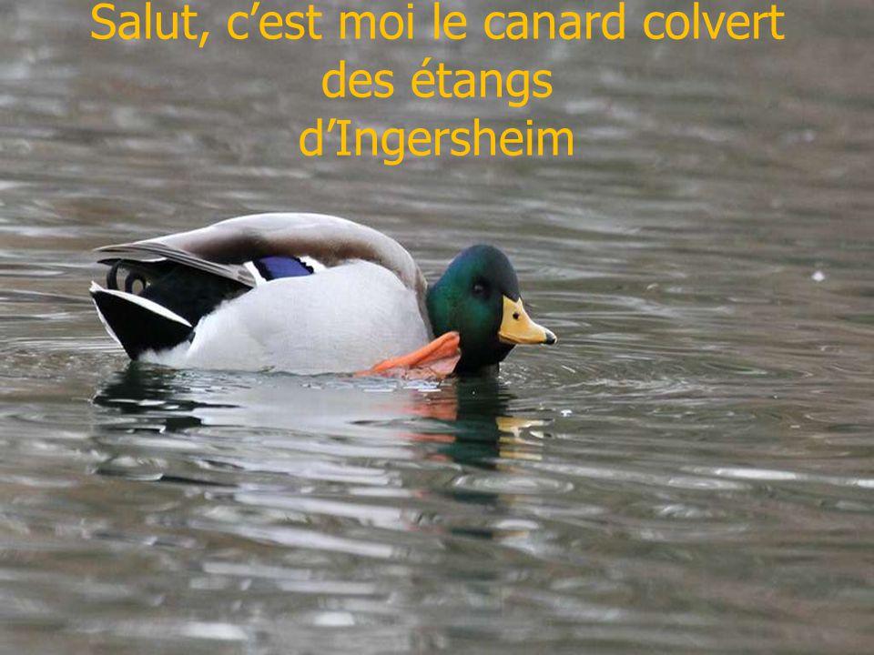 Salut, c'est moi le canard colvert des étangs d'Ingersheim