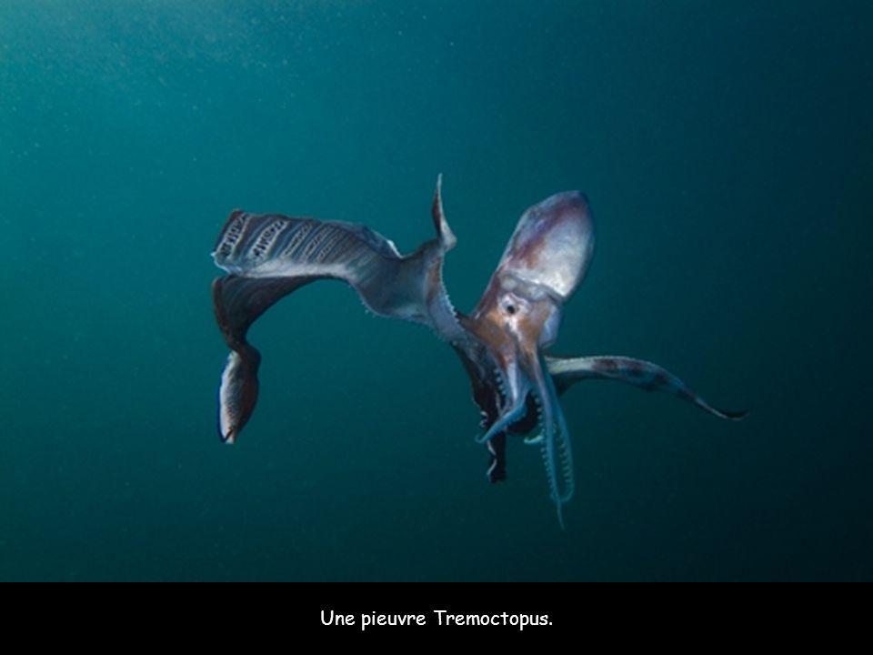 Une pieuvre Tremoctopus.