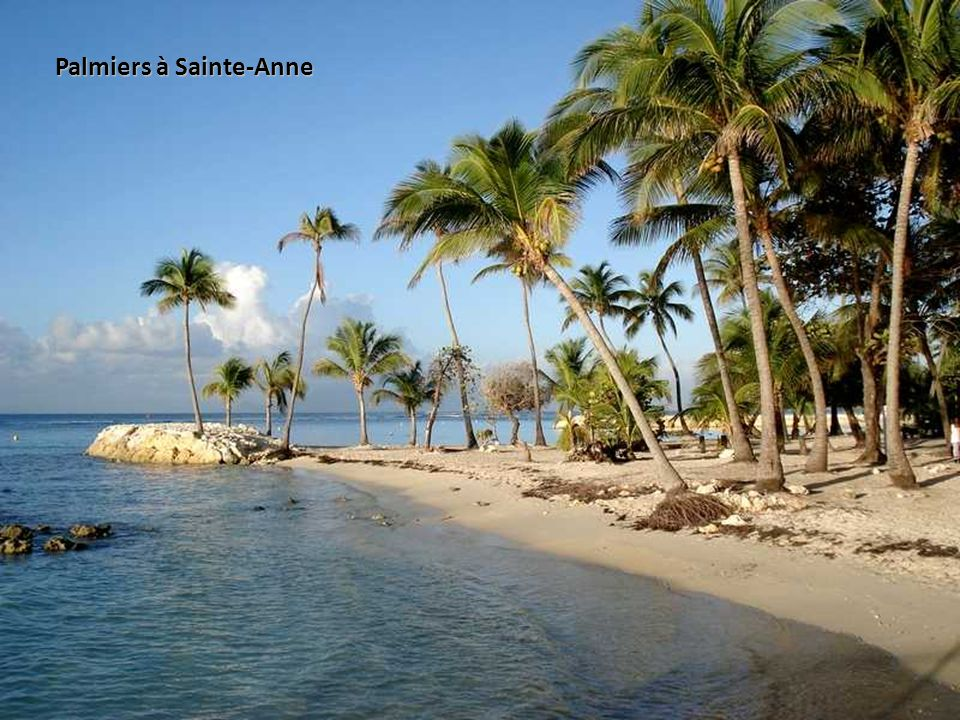 Palmiers à Sainte-Anne