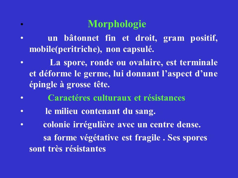 Morphologie un bâtonnet fin et droit, gram positif, mobile(peritriche), non capsulé.