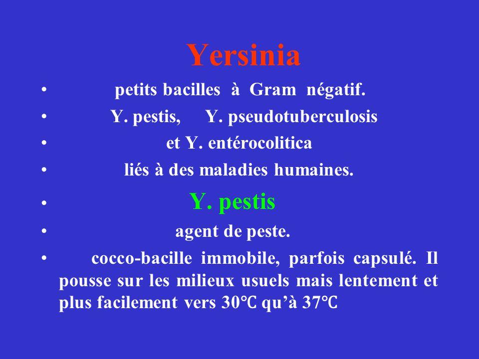 Yersinia petits bacilles à Gram négatif.