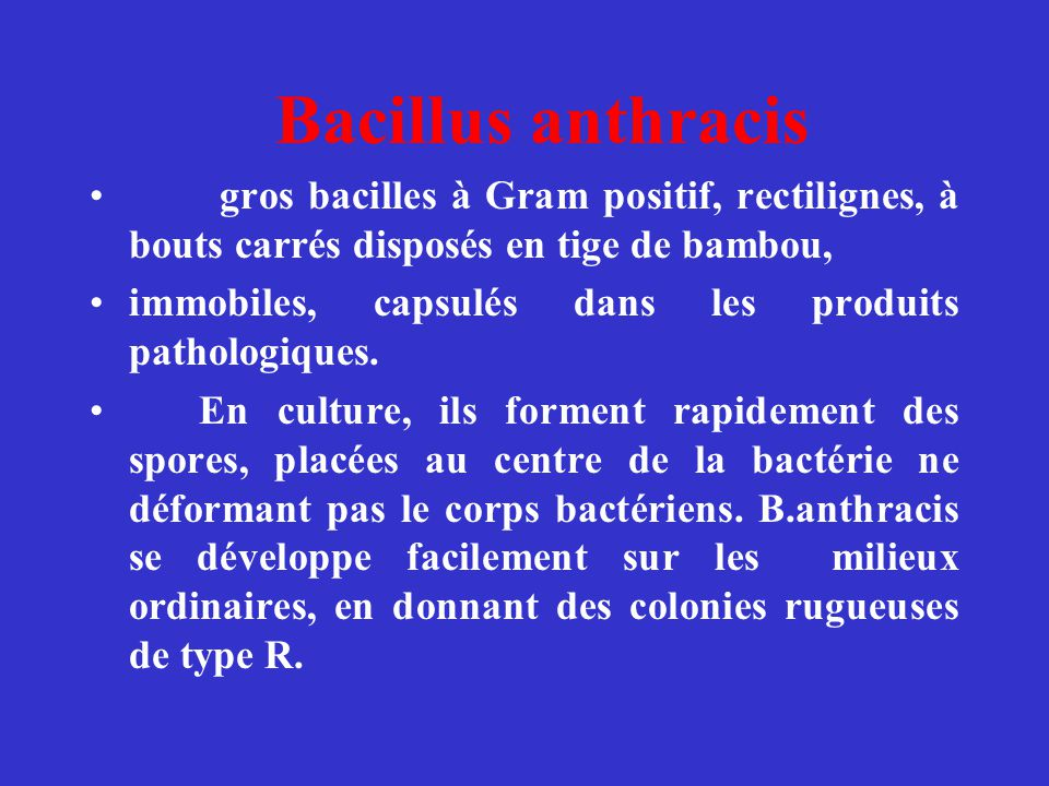 Bacillus anthracis gros bacilles à Gram positif, rectilignes, à bouts carrés disposés en tige de bambou,