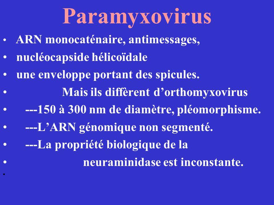 Paramyxovirus nucléocapside hélicoïdale