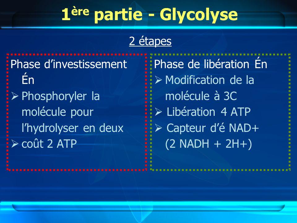 1ère partie - Glycolyse 2 étapes Phase d'investissement Én