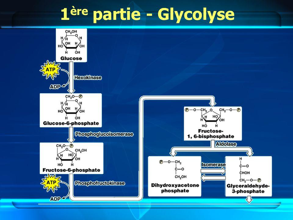 1ère partie - Glycolyse