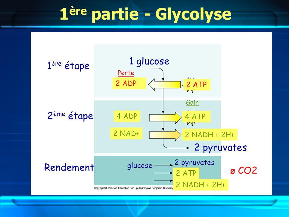 1ère partie - Glycolyse 1 glucose 1ère étape 2ème étape 2 pyruvates