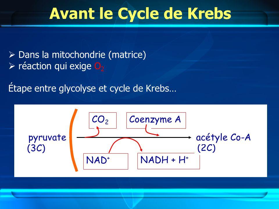 Avant le Cycle de Krebs  Dans la mitochondrie (matrice)