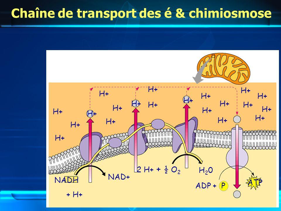 Chaîne de transport des é & chimiosmose