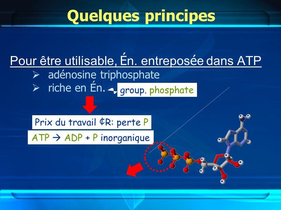 Quelques principes Pour être utilisable, Én. entreposée dans ATP