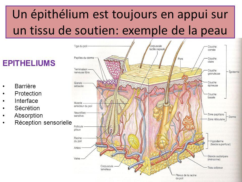 Un épithélium est toujours en appui sur un tissu de soutien: exemple de la peau