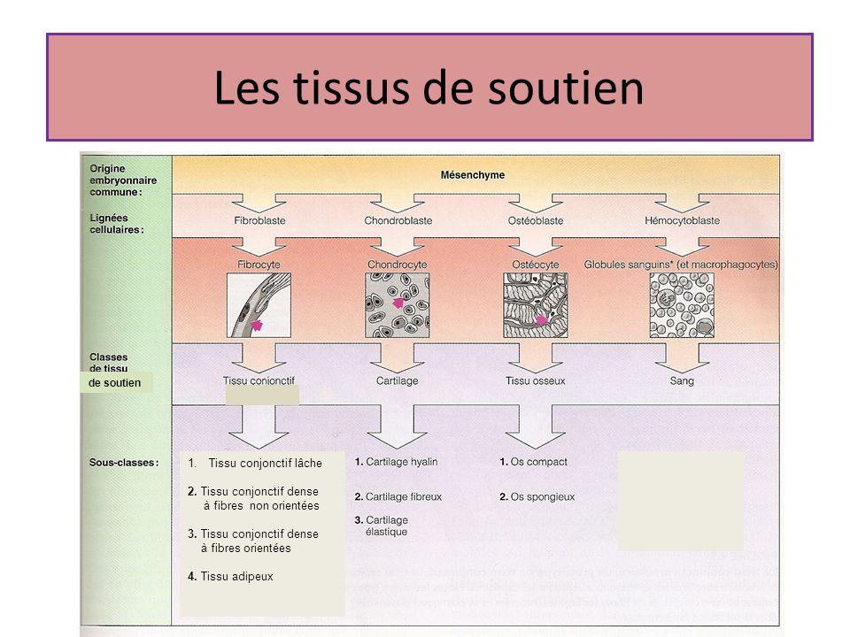 Les tissus de soutien Tissu conjonctif lâche 2. Tissu conjonctif dense