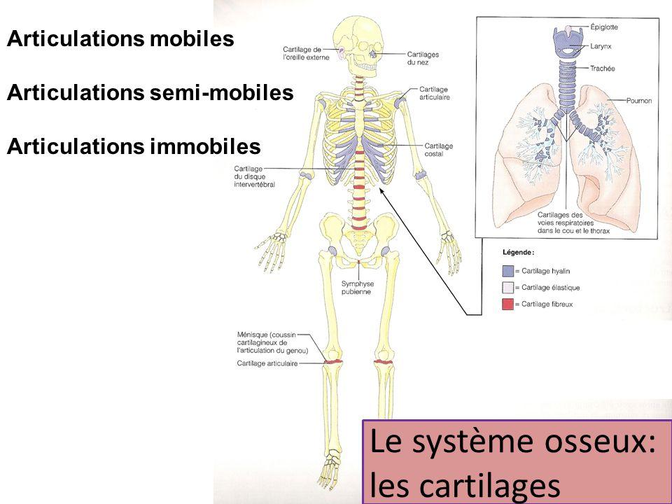 Le système osseux: les cartilages