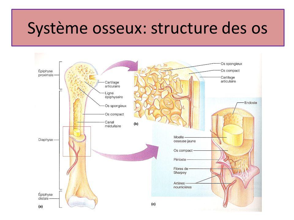 Système osseux: structure des os