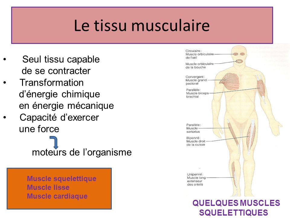 Le tissu musculaire Seul tissu capable de se contracter Transformation