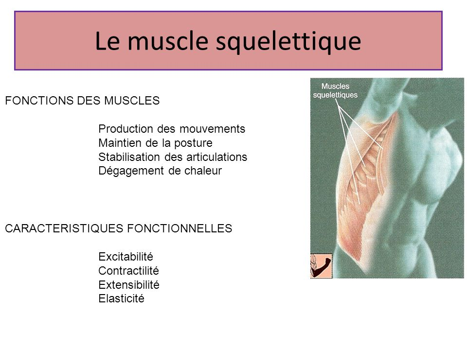 Le muscle squelettique