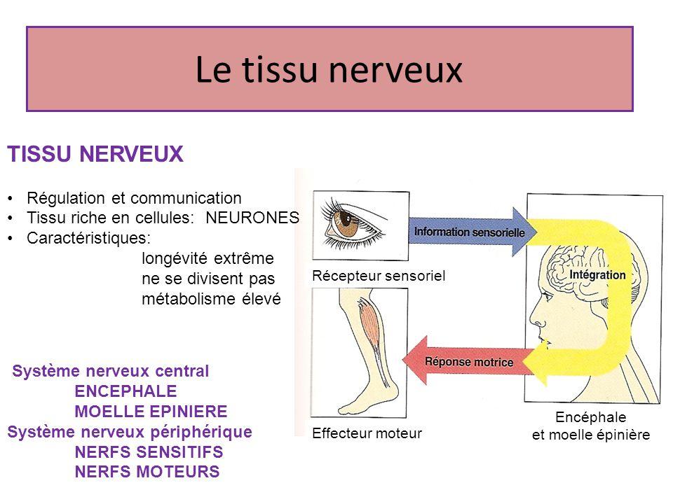 Le tissu nerveux TISSU NERVEUX Régulation et communication