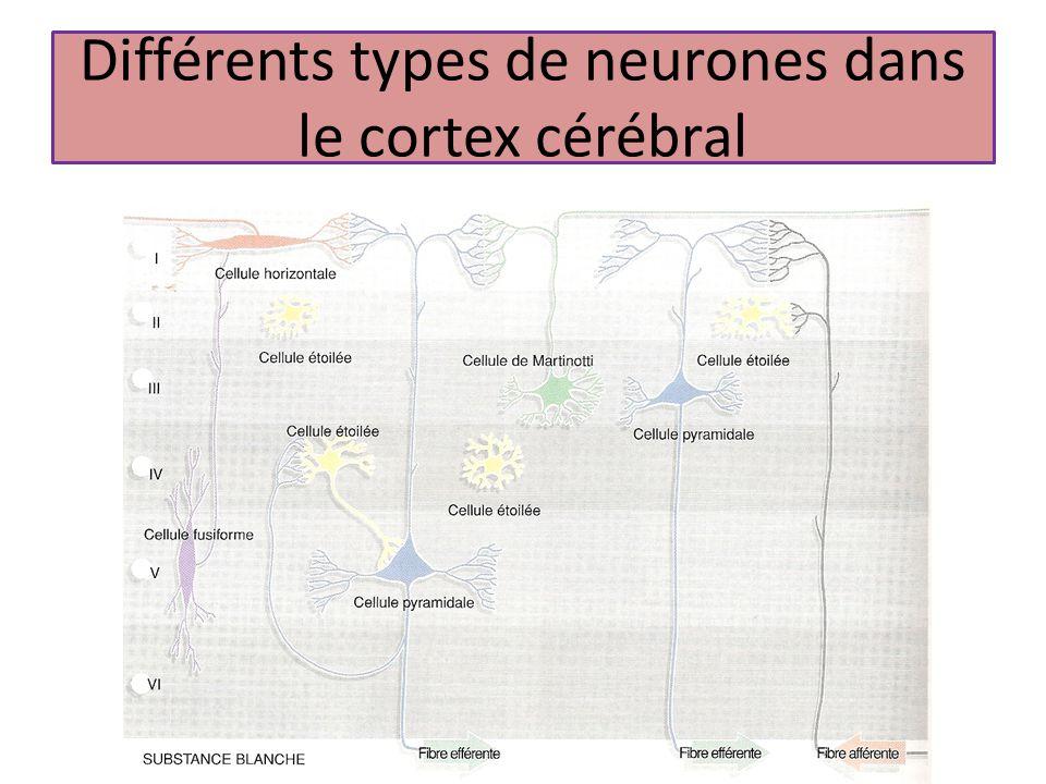 Différents types de neurones dans le cortex cérébral