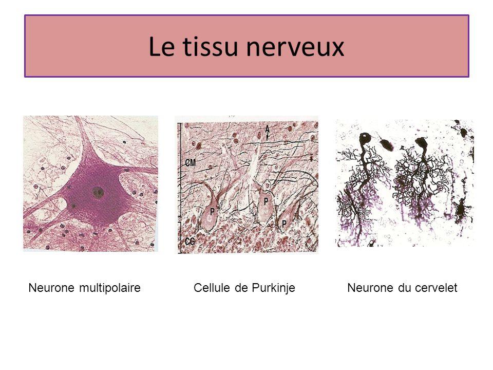 Le tissu nerveux Neurone multipolaire Cellule de Purkinje
