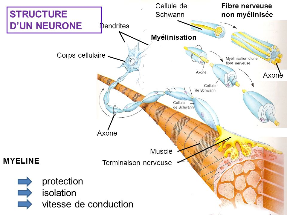STRUCTURE D'UN NEURONE protection isolation vitesse de conduction