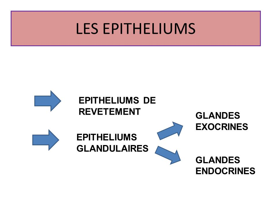 LES EPITHELIUMS EPITHELIUMS DE REVETEMENT GLANDES EXOCRINES