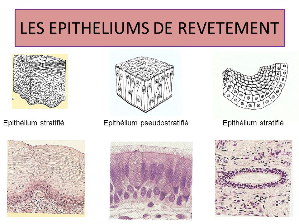 LES EPITHELIUMS DE REVETEMENT
