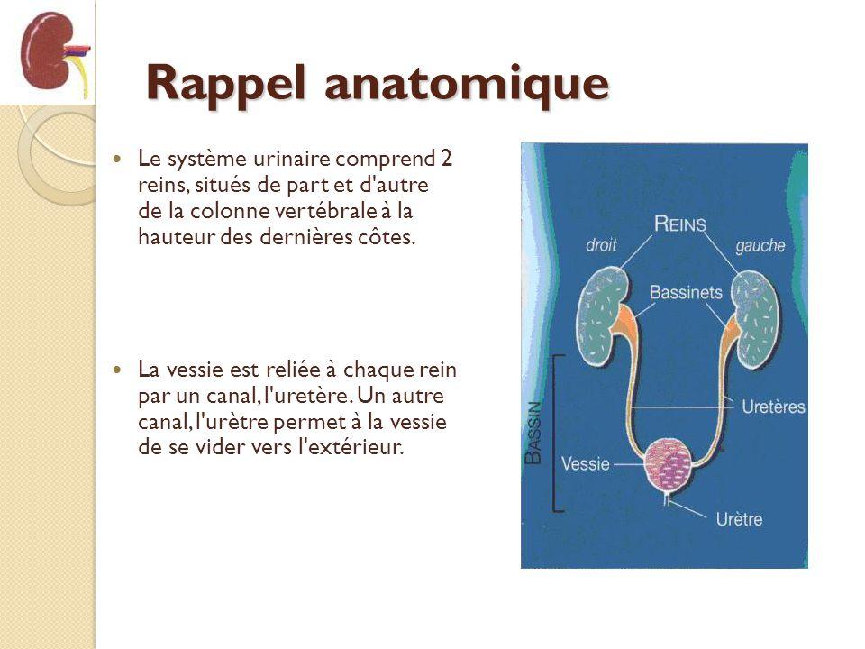Rappel anatomique Le système urinaire comprend 2 reins, situés de part et d autre de la colonne vertébrale à la hauteur des dernières côtes.