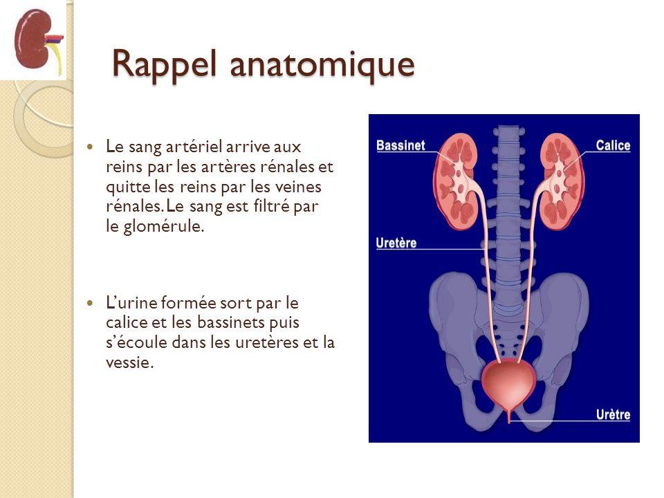 Rappel anatomique
