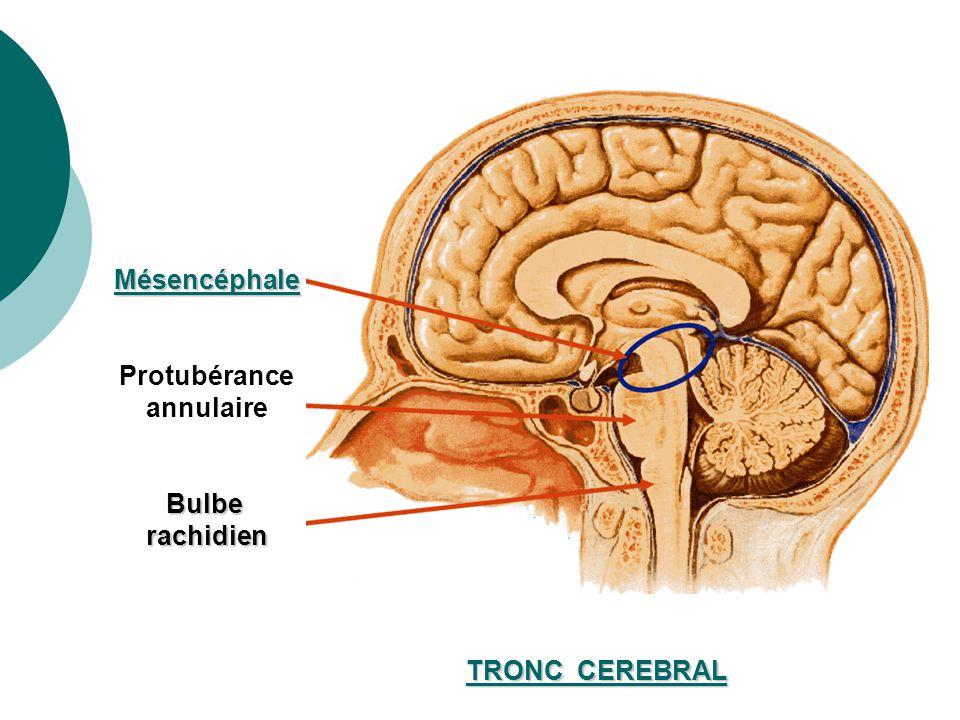 Mésencéphale Protubérance annulaire Bulbe rachidien TRONC CEREBRAL