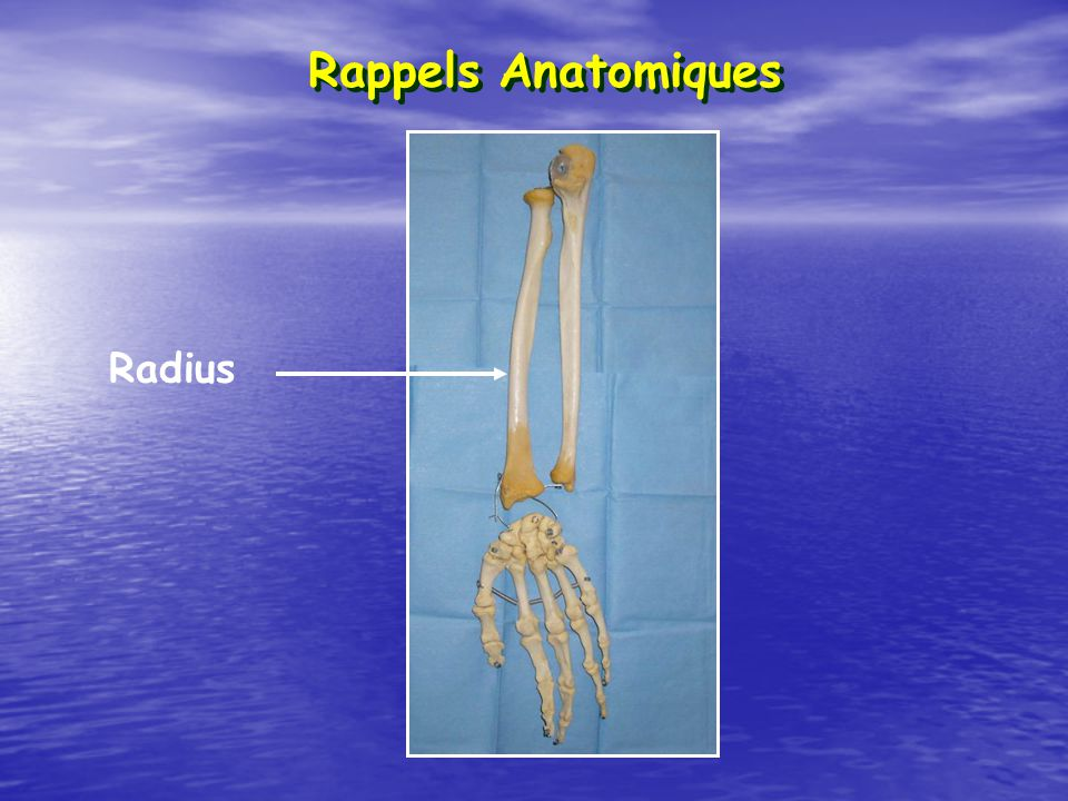 Rappels Anatomiques Radius