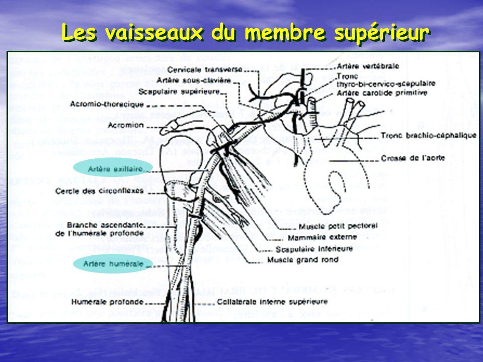 Les vaisseaux du membre supérieur