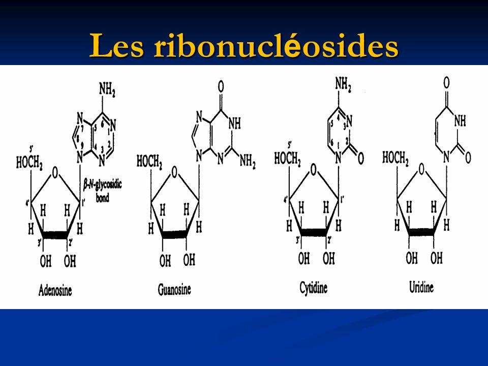 Les ribonucléosides