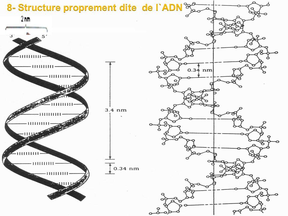 8- Structure proprement dite de l`ADN