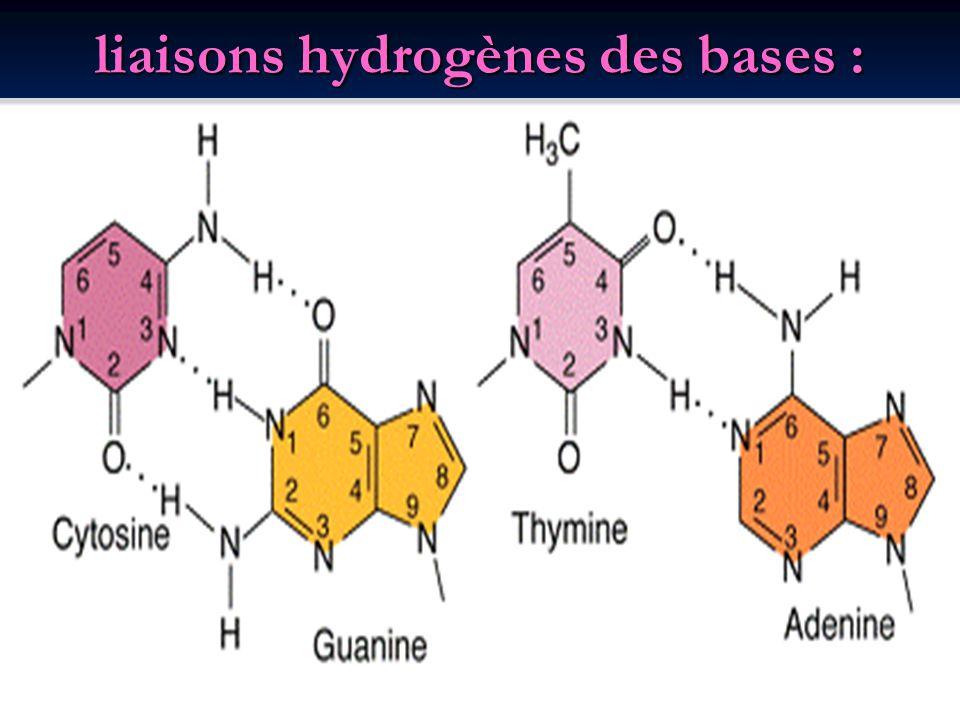 liaisons hydrogènes des bases :