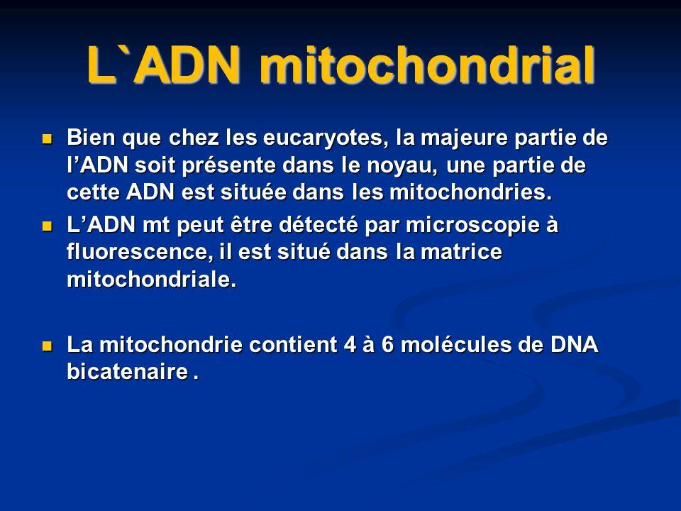 L`ADN mitochondrial