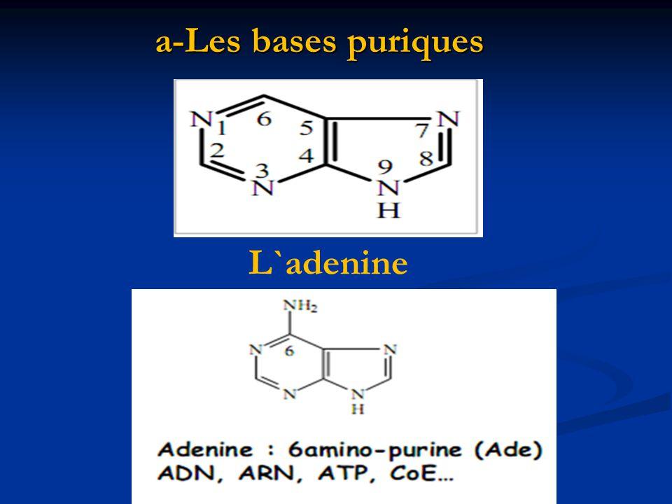 a-Les bases puriques L`adenine
