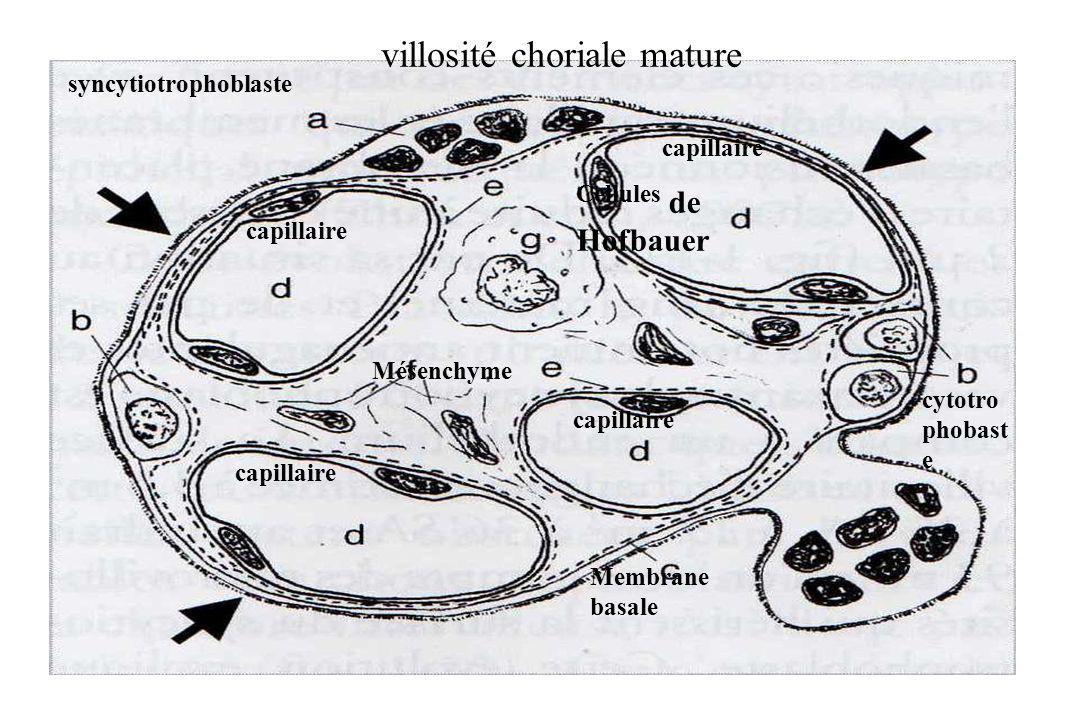 syncytiotrophoblaste