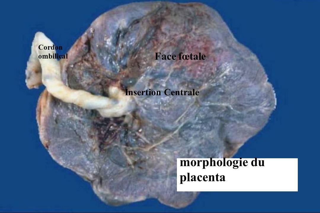 morphologie du placenta