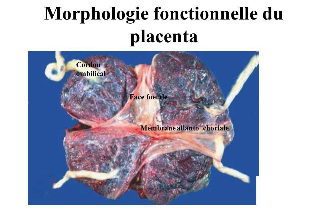 Morphologie fonctionnelle du placenta