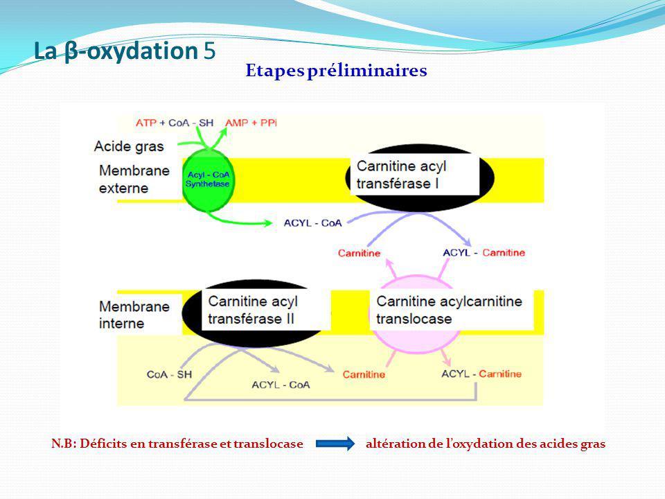 La β-oxydation 5 Etapes préliminaires
