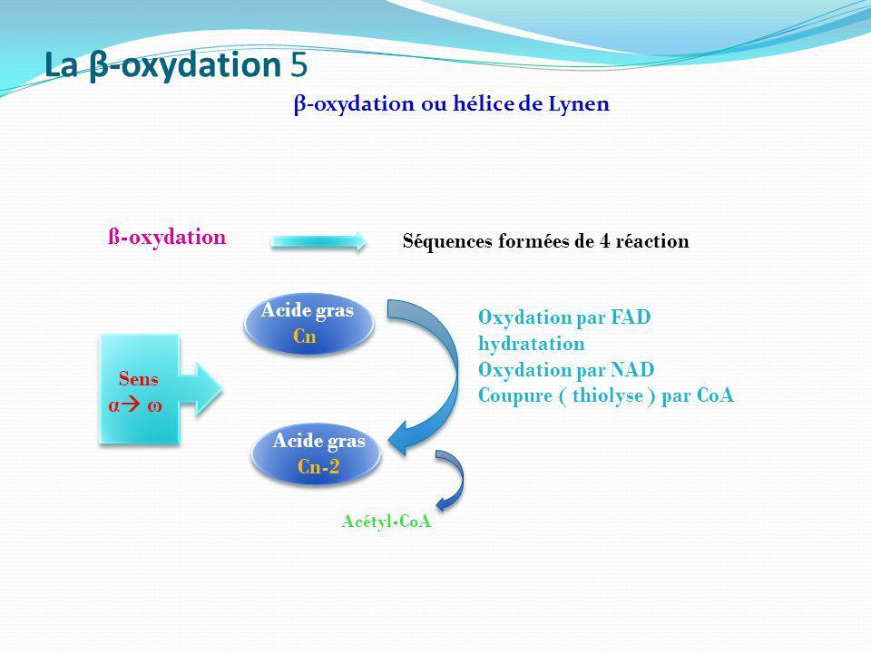 La β-oxydation 5 ß-oxydation β-oxydation ou hélice de Lynen